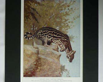 1901 Antique Ocelot Print, Wildlife Gift, Natural History Decor, Available Framed, Animal Art, Nature Picture Big Cat Wall Art Dwarf Leopard