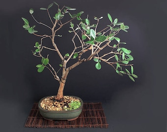 "Strawberry Guava Bonsai Tree ""Summer'17 Fruiting Collection"" from LiveBonsaiTree"