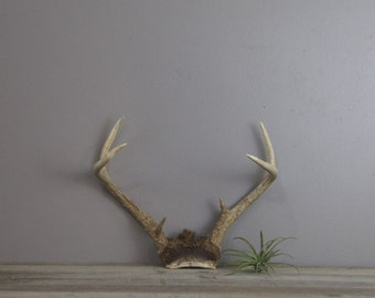 Vintage deer antlers with partial skull cap | taxidermy decor | #1621