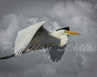 "Great Egret in Flight: ""Up In the Clouds"""