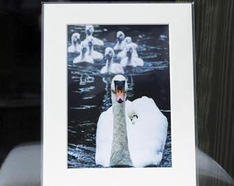 "Mounted Fine Art Photography Print - Mute Swan & Cygnets (10""x8"") - Baby Animals"