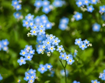 Flower Photograph, Forget Me Not, Floral Wall Art, Fine Art Photography, Cottage Chic Decor, Nature Photography, Blue Flowers, Floral Print