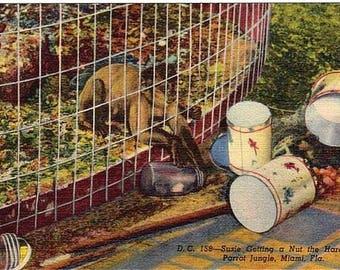 Vintage Florida Postcard - A Monkey on a Mission at Parrot Jungle, Miami (Unused)
