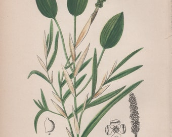 Grassy Pondweed, Botanical Print, Aquatic Plant Illustration, Antique Print, Potamogeton gramineus, Vintage Lithograph, Botany Print