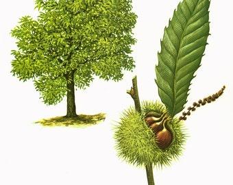 1967 Sweet Chesnut Tree Print Castanea sativa Vintage Botanical Illustration Wall Art Home Decor