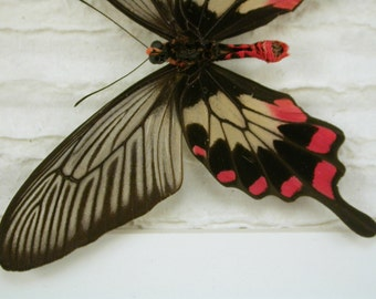 Enchanting Rosy Red butterfly -Pachliopta - Real Framed Butterfly -