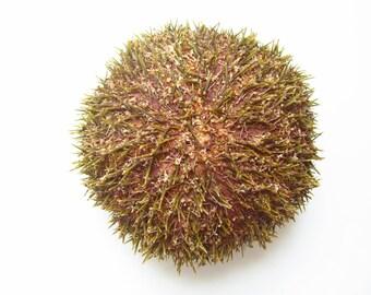 """4-5"""" Alfonso Sea Urchin-Beach Wedding Decor-Sea Urchin Bulk-Sea Life Craft Supplies-Alfonso Urchin-Sea Urchin Decor-Beach Wedding Favors"""