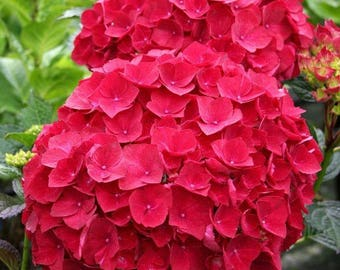 Beautiful Flower, 100 Seeds OF Red Hydrangea