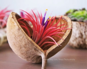 Tillandsia ionantha fuego in a buddha nut shell, red air plant- indoor outdoor garden/house plant colorful red/terrarium accessories