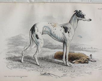 old etch british greyhound dog 1840