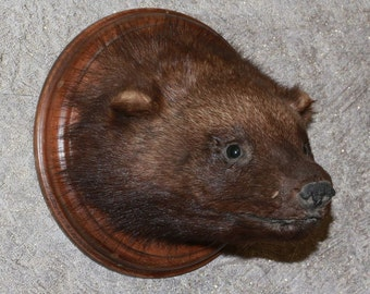 Russian Wolverine - Taxidermy Head Shoulder Mount, Stuffed Animal For Sale - Glutton - ST3429