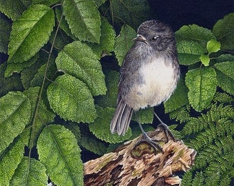 South Island Robin in Front of Lacebark