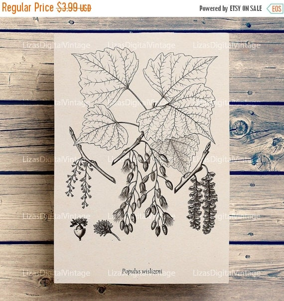 50% OFF Tree art, Printable images, Digital images, Tree illustration, Tree download, Tree print, Graphics vintage, Poplar tree, Antique, JP