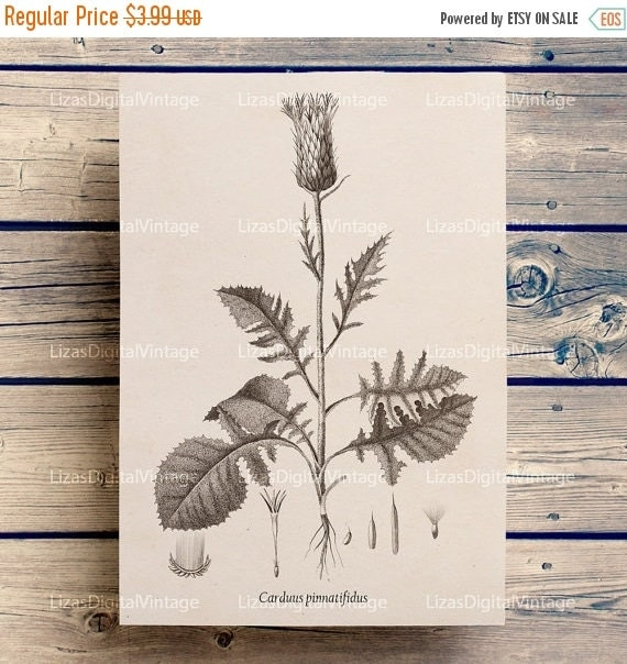 50% OFF Botanical print, Printable artwork, Botanical illustration, Vintage graphics, Thistle clip art, Thistle print, Botanical PNG JPG 300
