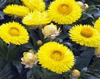 Yellow Helichrysum Flower Seeds/Bracteatum/Annual  65+