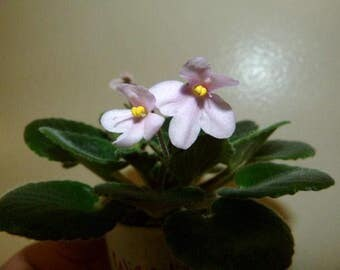 African Violet ~ Wizard's Danania