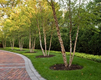 River Birch MULTI- stem tree (betulanigra)