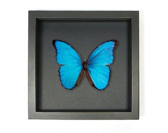 Mounted butterfly (didius) in elegant frame 25 x 25 cm-mounted Butterfly (didius) in elegant black list 25 x 25 cm.
