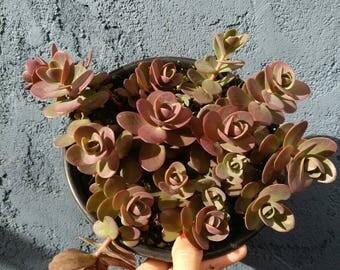 """Individuals Sedum Cherry Tart 6"""" Rare Succulent Plant"""
