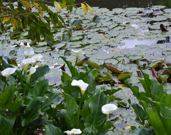 Lilly Pond, White flower, Green, Lilly Pad, Reflection, Fine Art Photography, Home Decor, Wall Art, Canvas Gallery Wrap