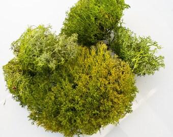 Lichen, reindeer moss, green, dried natural material.