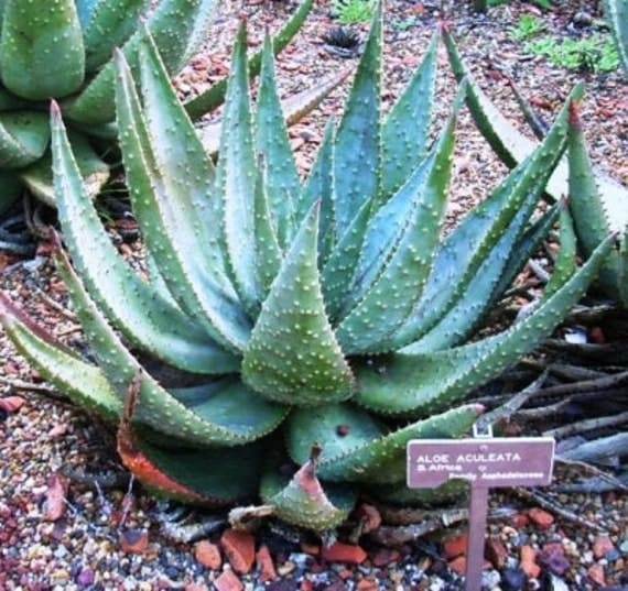 aloe aculeata rare succulent 4 inch young plant well rooted not succulent cuttings. Black Bedroom Furniture Sets. Home Design Ideas