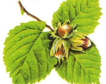 Hazel - depurative, tonic herbal healing, venous