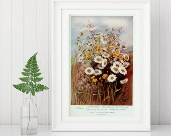 Wall Art Print showing two Wildflower beauties, White Daisy and  Buttercup.  Taken from a vintage Nineteenth century textbook