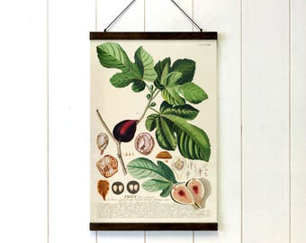 Fig Botanical Pull Down Chart, Educational Chart Diagram, Tropical Decor, School chart, Botanical art, 20x29