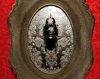 Large real beetle on silver frame with silver gilding