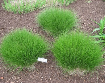 200 PRAIRIE DROPSEED Ornamental Native Grass Sporobolus Heterolepis Seeds