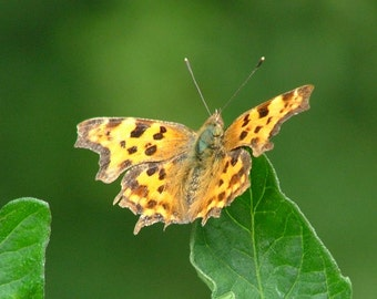 Comma Butterfly Print