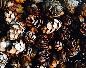 Miniature Pinecones (Larch)