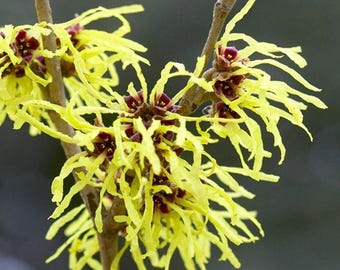 Trio of Colourful Hamamelis Witch Hazel Plants Collection - In Bud & Flower Now