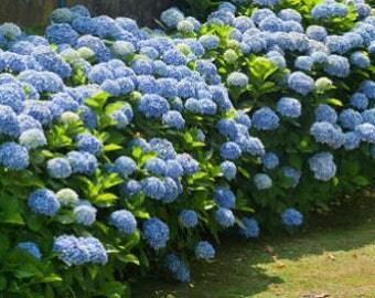 Blue (giant ball) Hydrangea bush