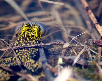 Look Away Frog