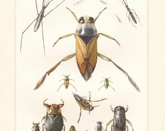 Vintage lithograph of waterbugs, pigmy backswimmers, nepomorpha and hemiptera from 1956