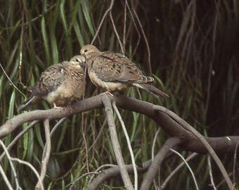 MOURNING DOVES - photo print