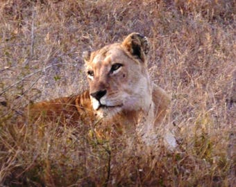 Lioness 'far-away eyes'  Placemats