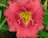 Daylily Plant - Hot Tamales (S-506.8)