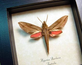 Real Framed Rare Pink Hippotion Boerhavia Pale Striated Hawkmoth 8449