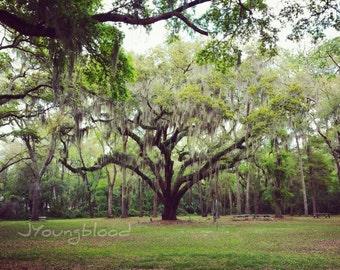Photograph: Tree with Spanish Moss Nature Photography 8x10 Savannah Georgia
