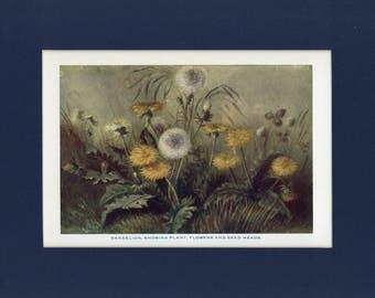Natural History 1911 Antique Print of Wild Dandylion Plant, Flowers, Seeds
