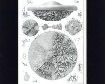 Beautiful 1860 Jellyfish - Polyclonia Frondosa Aquatic Natural History Antique Print