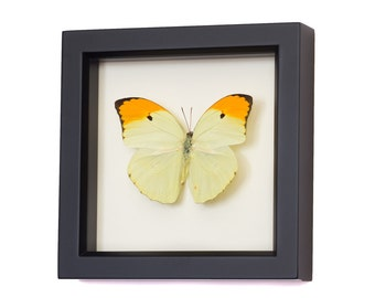 Yellow Brimstone Real Framed Butterfly Insect Display