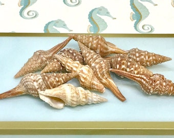 "Seashells - 20 Fox Shells - 2.5""-3"" - beach decor/bulk shells/craft shells/seashells/sea shells"