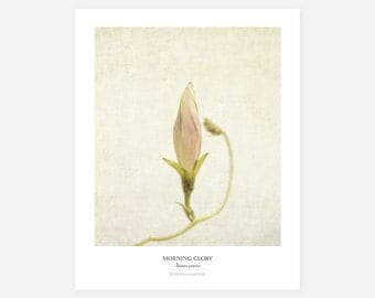 Morning Glory Original Art Print - Botanical Wall Art - Flower Poster - Large Botanical Print - Gift for Gardeners