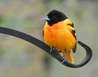Baltimore Oriole Wrought Iron with Blurred Background Nature Bird Wall Art Home Decor Digital Download Fine Art Linda Fischer Fischerimages