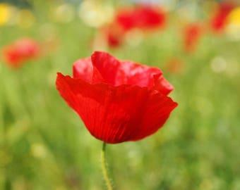 Corn Poppy Seeds UK Grown Wildflowers for Wildlife Gift, Papaver Rhoeas, Field, Common - Cornfield Annual Wild Flower Meadow