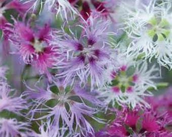 Dianthus RAINBOW LOVELINESS MIX-(3) 1 year Hardy Live Perennial Plants-Fragrant Heirloom